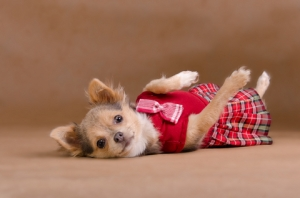 Chihuahua Puppy Wearing Red Kilt © Vitaly Titov & Maria Sidelnikova